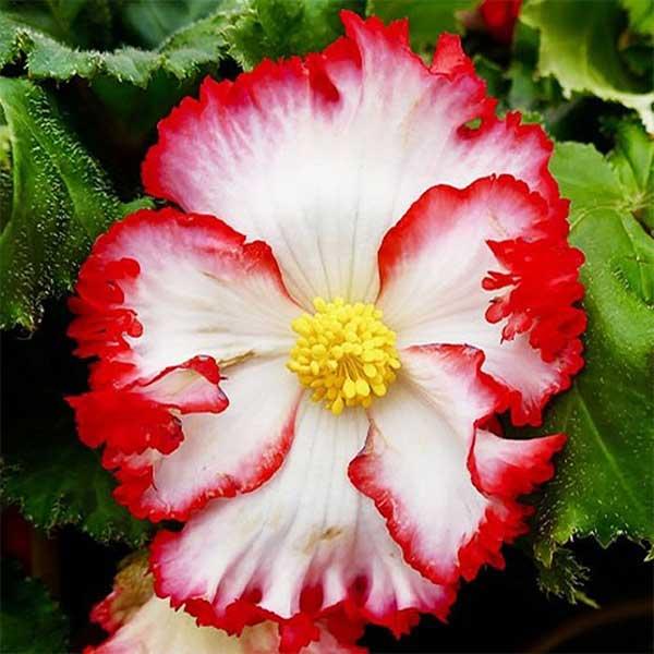 Бегония Marginata White/Red арт. 208422 (луковицы)
