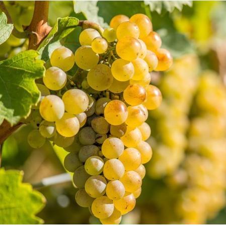 Виноград белый Рислинг