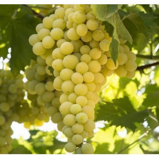 Виноград белый Солярис